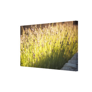 Lavender blooming canvas print