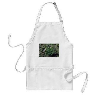 Lavender Blue-Eyed Grass (Sisyrinchium Angustifoli Aprons
