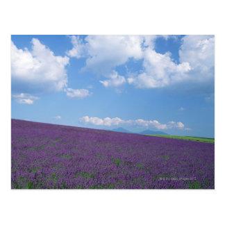Lavender Field 3 Postcard