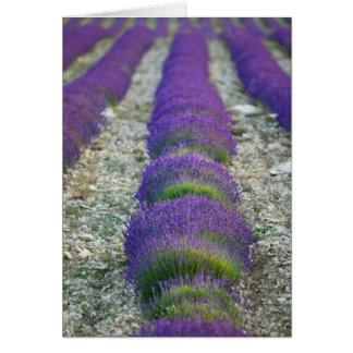 Lavender field, Provence, France Card