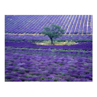 Lavender fields, Vence, Provence, France Postcard