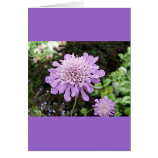 Lavender Flower:: Scabiosa Greeting Card