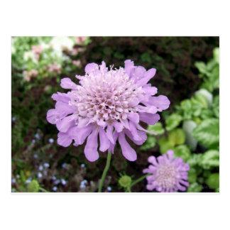 Lavender Flower:: Scabiosa Postcard