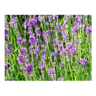 Lavender in the Grass Post Card