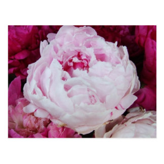 Lavender Pink Peony with Fuschia Peonies Postcard