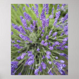 Lavender plants poster