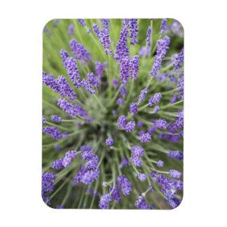 Lavender plants rectangular photo magnet