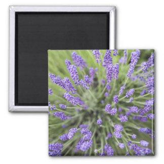 Lavender plants square magnet