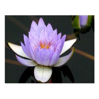 Lavender Water Lily Postcard