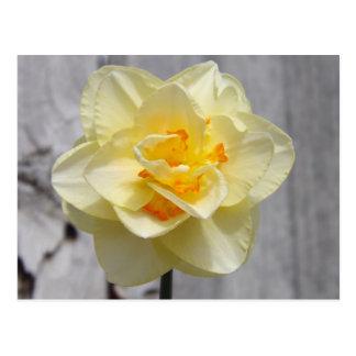 Layered Daffodil Postcard