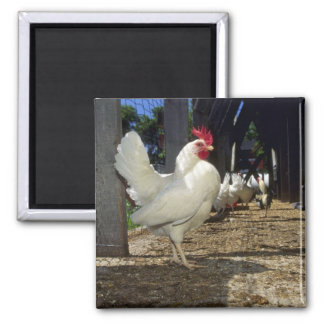 Layers (Hens And Roosters) Square Magnet