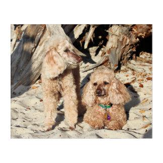 Leach - Poodles - Romeo Remy Acrylic Print