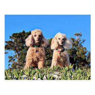 Leach - Poodles - Romeo Remy Postcard