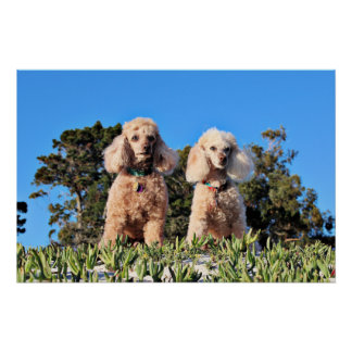 Leach - Poodles - Romeo Remy Poster