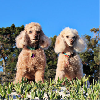 Leach - Poodles - Romeo Remy Standing Photo Sculpture