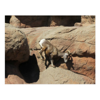 Leaping Bighorn Sheep Postcard