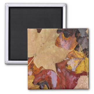 Leaves of Many Colors Square Magnet