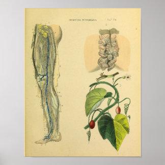 Leg Lymphatics Veins Anatomy Vinatge Art Print