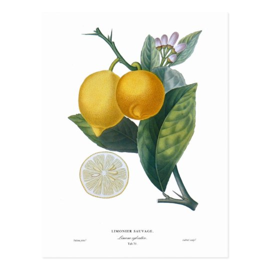 Lemon by Pierre - Antoine Poiteau Postcard