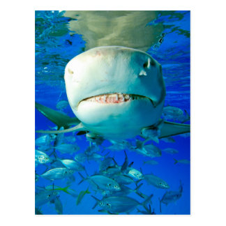 Lemon Shark Postcard