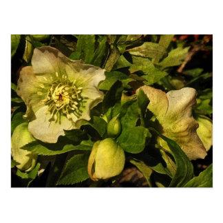 Lenten Rose Hellebores Postcard
