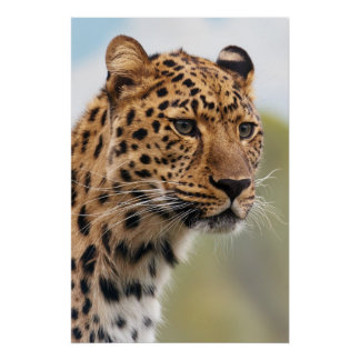 Leopard Head Shot Poster