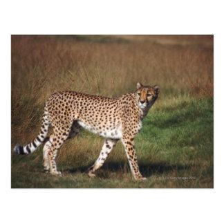 Leopard in plain postcard