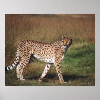Leopard in plain poster