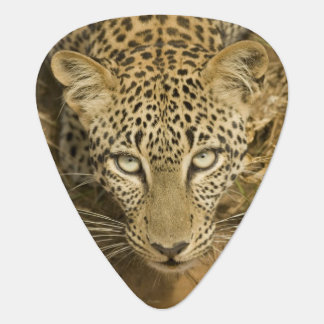 Leopard, Panthera pardus, drinking from a Guitar Pick