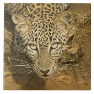 Leopard, Panthera pardus, drinking from a Large Square Tile