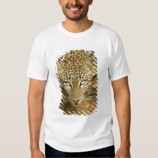 Leopard, Panthera pardus, drinking from a T-shirts