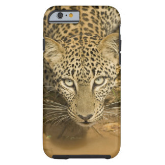 Leopard, Panthera pardus, drinking from a Tough iPhone 6 Case