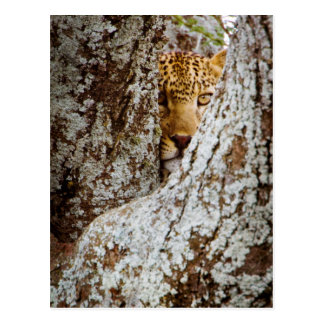 Leopard (Panthera Pardus) Hiding Behind Tree Postcard