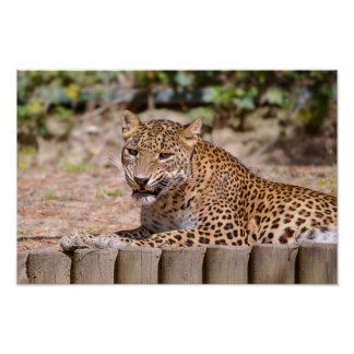 Leopard (Panthera pardus) lying on ground Poster