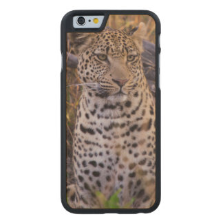 Leopard sitting, Botswana, Africa Carved® Maple iPhone 6 Slim Case
