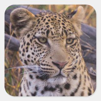 Leopard sitting, Botswana, Africa Square Sticker
