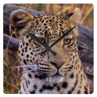 Leopard sitting, Botswana, Africa Square Wall Clock