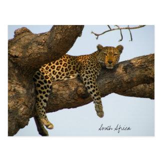 Leopard sitting in a tree postcard