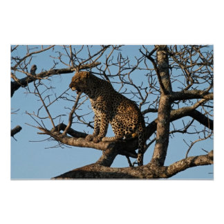 Leopard Yawns While Sitting on a Tree Limb Poster