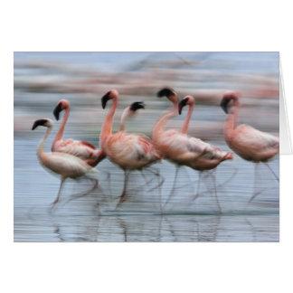 Lesser Flamingos in motion, Phoenicopterus Cards
