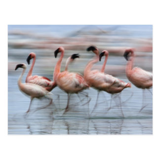 Lesser Flamingos in motion, Phoenicopterus Postcard