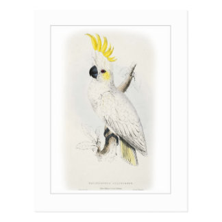 Lesser sulphur-crested cockatoo postcard