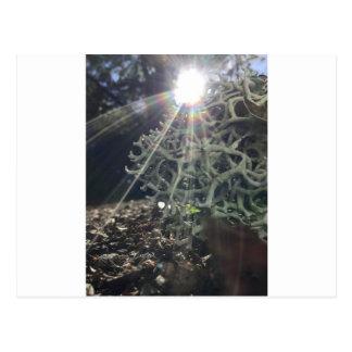 Lichen Rays Postcard
