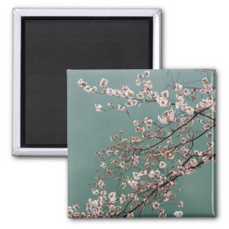 Light pink cherry blossoms on turquois background square magnet