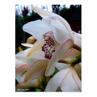 Light Yellow Cymbidium Orchid Postcard