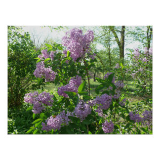 Lilac Beauty Poster