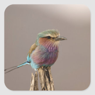 Lilac breasted Roller, Coracias caudata, Samburu Square Sticker