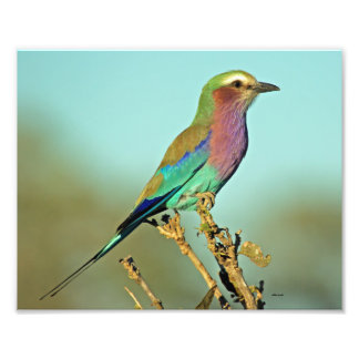 LILAC BREASTED ROLLER PHOTO PRINT