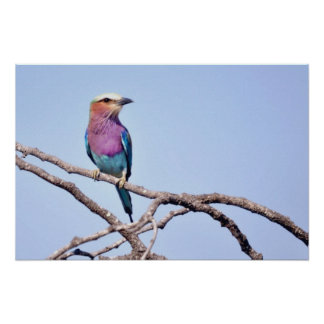 Lilac-breasted Roller Poster