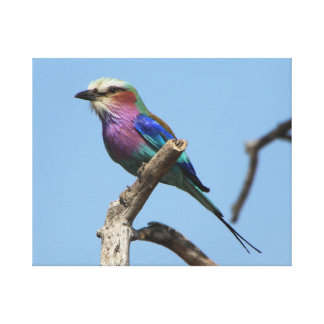 Lilac Breasted Roller with Blue Sky Canvas Print